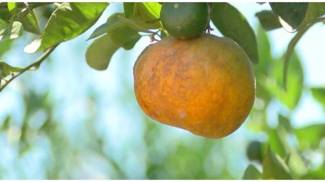 Over $14,000 in oranges stolen from farm in Dinuba