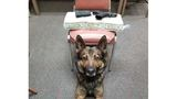 """CHP K-9 """"Beny"""" Strikes Again With Huge Drug Bust In Merced County"""