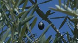Hundreds of olive growers worried about losing their farms