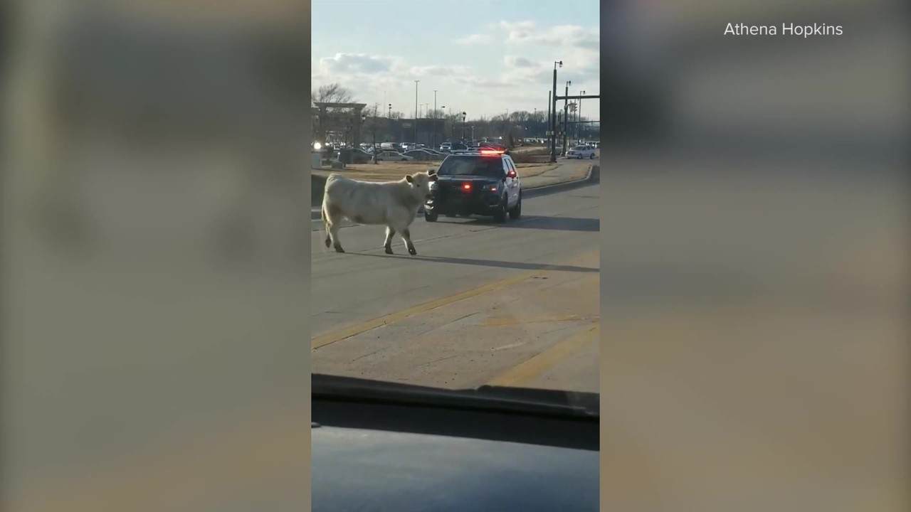 Runaway cow blocks traffic, eludes police, stops by Chick-fil-A